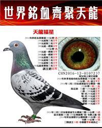 鸽王冠军/天龙福星