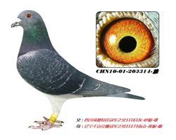魔鬼系回血鸽203314-雄