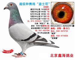 """种赛鸽""""迪斯尼"""",""""阿拉丁家族""""【已售】"""