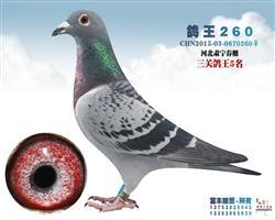 鸽王260