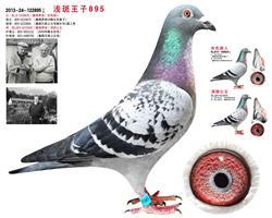 浅斑王子895