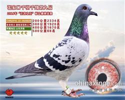 2016年成绩鸽