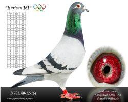 """国家鸽王奥林匹克代表鸽""""飓风161"""""""