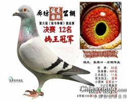 伍龙国际公棚鸽王冠军