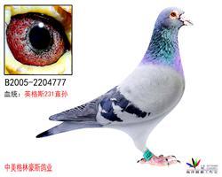 大名鸽英格斯231直孙(售出)