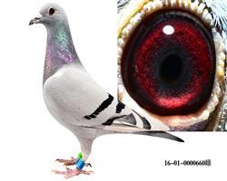 本舍极品种鸽――雌鸽