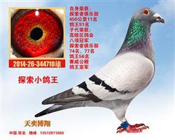 『灰军团-探索小鸽王』、仅供欣赏