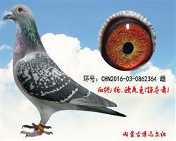 博远新系种鸽