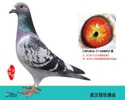 武汉冠玖鸽9
