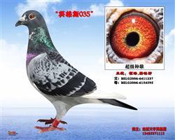 天宇英格斯-035种雄