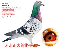 杨欧瓦克超级鸽王484直子