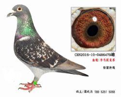 老国血超远程李鸟跃龙系种鸽4