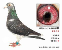 超远程老国血李鸟种鸽3