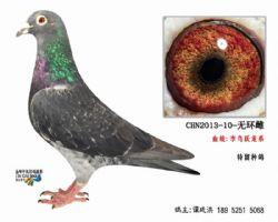 超远程老国血李鸟跃龙系种鸽3