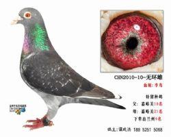 超远程老国血李鸟无环种鸽2