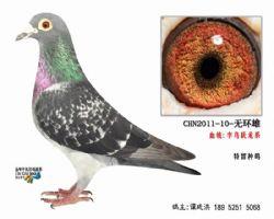 超远程老国血李鸟无环种鸽3