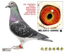 27 BELG2012-6285982 雄