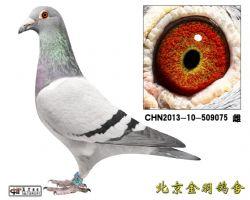 91 CHN2013-10-509075 雌