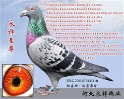 河北永祥鸽业