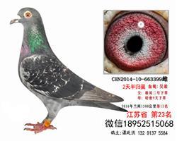 16年远程吴淞1500公里第12名老国血