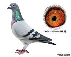 胡本2014年子代鸽-669538