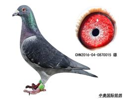 乔斯.佛卡门16年子代鸽-0870015