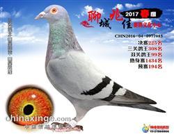 聊城兆佳赛鸽中心500公里决赛225名