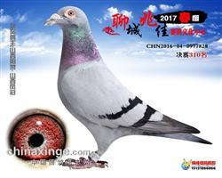 聊城兆佳赛鸽中心500公里决赛310名