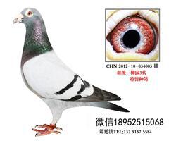 超远程吴淞特留种鸽2