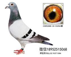 吴淞超远程特留种鸽2