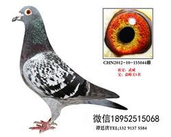 老国血吴淞超远程特留种鸽3