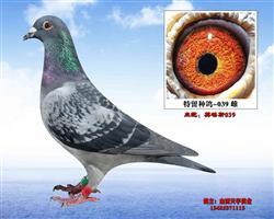 英格斯特留种鸽-039