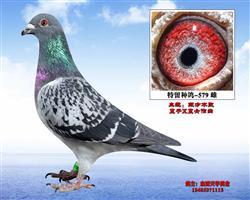 桑杰士-东方不败回血特留种鸽-579