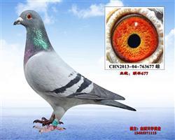 胡本特留种鸽-677
