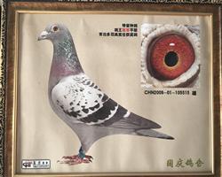 鸽王全平辈2009-105515