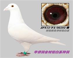 现代日本村松白系06592-雌