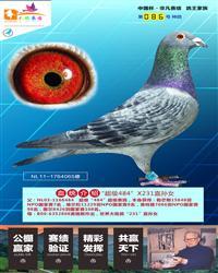 """""""超级484""""X231直孙女"""