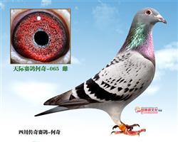 天际赛鸽何奇-065