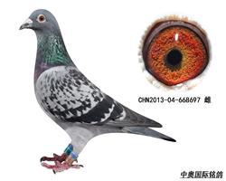 胡本家族13年子代鸽-668697