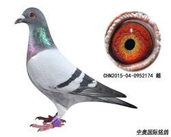15年秋三晋赛鸽俱乐部第二关174名!