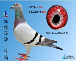 鸽王416