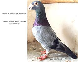 凡龙秘藏种鸽