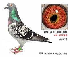 老国血吴淞跃龙系列极品种鸽4