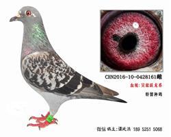老国血吴淞跃龙系种鸽4