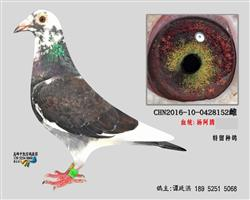 杨阿腾多利号种鸽3