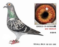 老国血吴淞跃龙系种鸽3