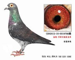 老国血李鸟吴淞跃龙系特留种鸽45