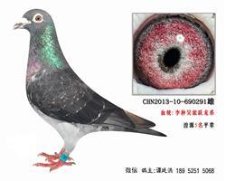 老国血李鸟吴淞跃龙系特留种鸽3