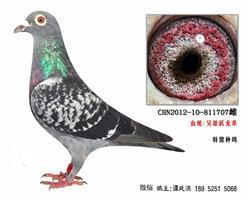 老国血吴淞跃龙系特留种鸽4