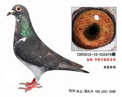 老国血李鸟吴淞跃龙系特留种鸽4